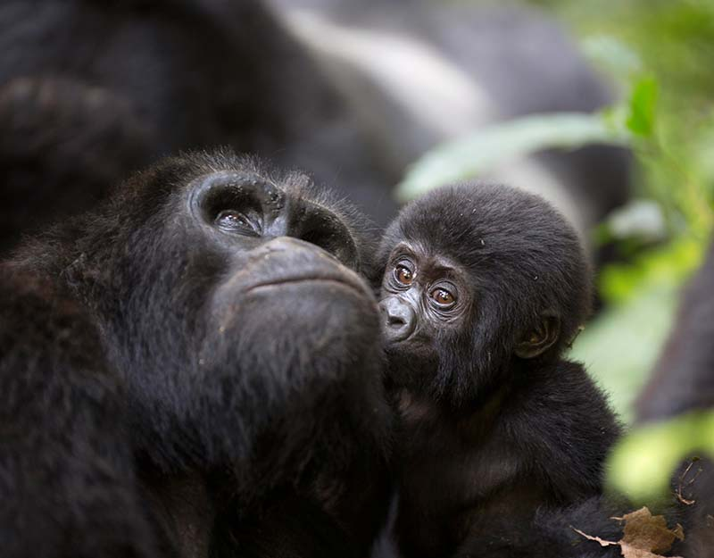 Bwindi National Park – Gorilla Tracking