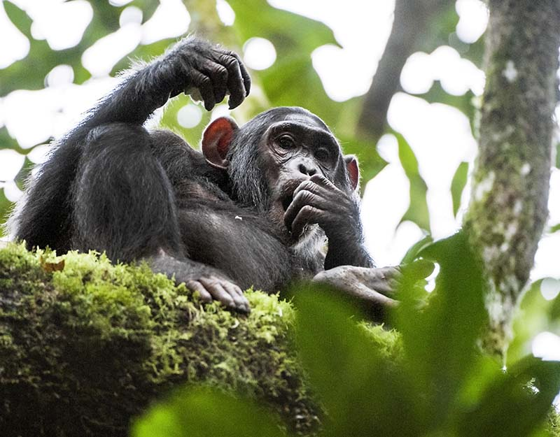 Fort Portal – Chimp Tracking_1